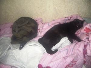 Macho (tigré) et Sekhmet (noir), sieste avec les voxiens